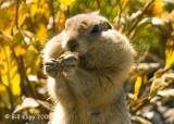 Arctic Ground Squirrel, Denali  National Park  2
