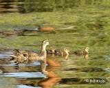 Mallard Duck Family  6