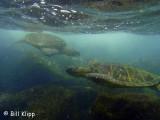 Green Sea Turtles, Kona Hawaii  3