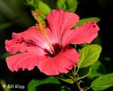 Pink Habiscus