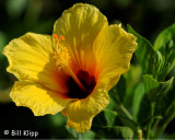Yellow Habiscus