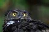 Great Horned Owl, Sitka Raptor Rehab Center  1