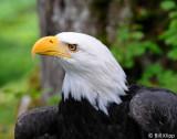 Bald Eagle, Sitka Raptor Rehab Center  1