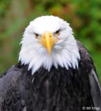 Bald Eagle, Sitka Raptor Rehab Center   2