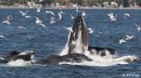 Humpback Whales bubble net feeding  1
