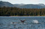 Humpback Whales,  Iyoukeen Cove 1
