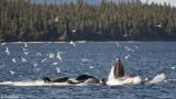 Humpback Whales bubble net feeding  2