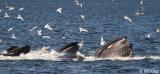 Humpback Whales bubble net feeding  3