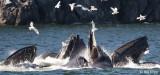 Humpback Whales bubble net feeding  4