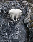 Mountain Goat, Gloomy Knob Glacier Bay  3
