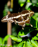 Giant Swallowtail Butterfly  2