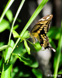 Giant Swallowtail Butterfly  3