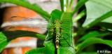 Green Dragonfly  3