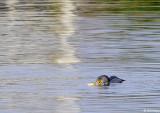 Cormorant  Fishing  1