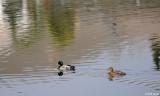 Northern Mallard Ducks  2