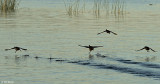 Coots taking off  2
