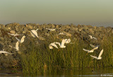 Egrets gathering to feed  2
