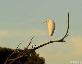 Great Egret   19
