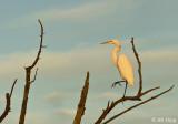 Great Egret   18