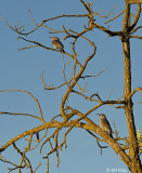 Red Shafted Flicker  2