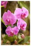 Purple Orchid 1