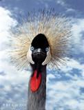African Crown Crane, Cabo san Lucas