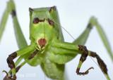 Grasshopper, Amazon