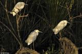 Snowy Egrets 4