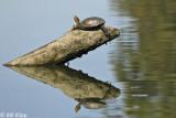 Turtles, California Delta 3