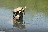 Turtles, California Delta 2