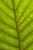 Macro leaf 1