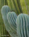 Cardón Cactus 1,  Santa Catalena Island