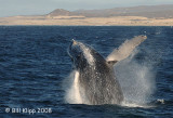 Humpback Whale Cabo