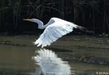 Great Egrets 7