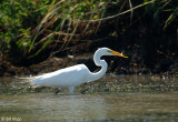 Delta Birds Great Egret   9