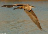 Great Blue Heron 8