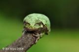 Tree Frog,  Northern Minnesota 1