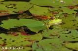 Leopard Frog,  Northern Minnesota