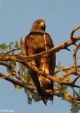 Swainson's Hawk  3