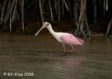 Roseata Spoonbill, Florida Keys