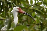 Ibis, Florida Keys