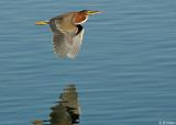 Green Heron 1,  Discovery Bay, Ca.