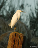 Snowy Egret  1 Discovery Bay,  Ca.
