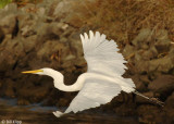 Great Egret 13, Discovery Bay Ca.