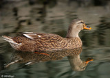 Female Northern Mallard Duck 1