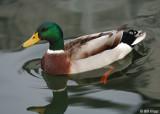 Male Northern Mallard Duck 2