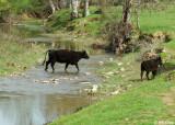 Cows Crossing Marsh Creek, Mt. Diablo