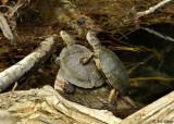 Turtles, Marsh Creek 2, Mt. Diablo