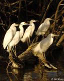 Snowy Egrets 9