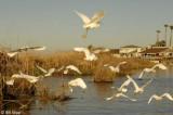Snowy Egrets 10